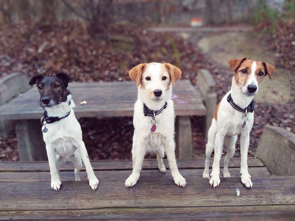 Fox Terrier und Parson Russell Hunde, Beschäftigungskurse in der Hundeschule im Hundezentrum Wien