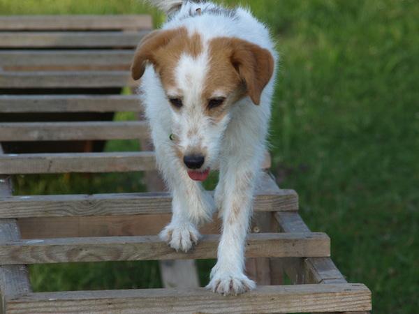 Impulskontrolle bei der Parson Russell Terrier Hündin in der Hundeschule Hundezentrum Wien