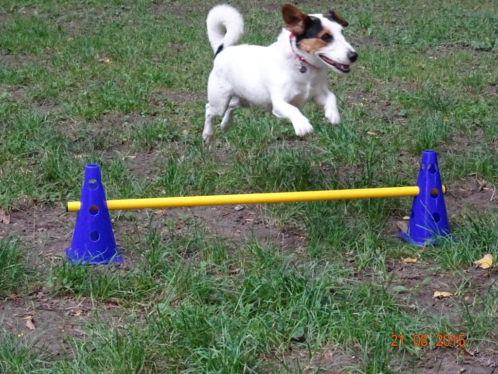 Der Bewegungsreiche Activity Kurs für alle Hunde! Jack Russell Terrier Jacky hat offensichtlich viel Spaß bei den einzelnen Übungen in der Hundeschule 1030 Hundezentrum Wien