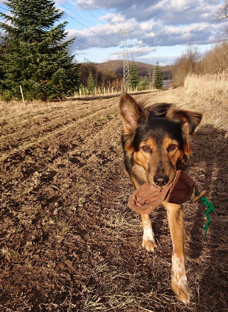 Dummysuche für Jederhund! Die Schäfermischlingshündin bringt ihren Futterdummy freudig zurück