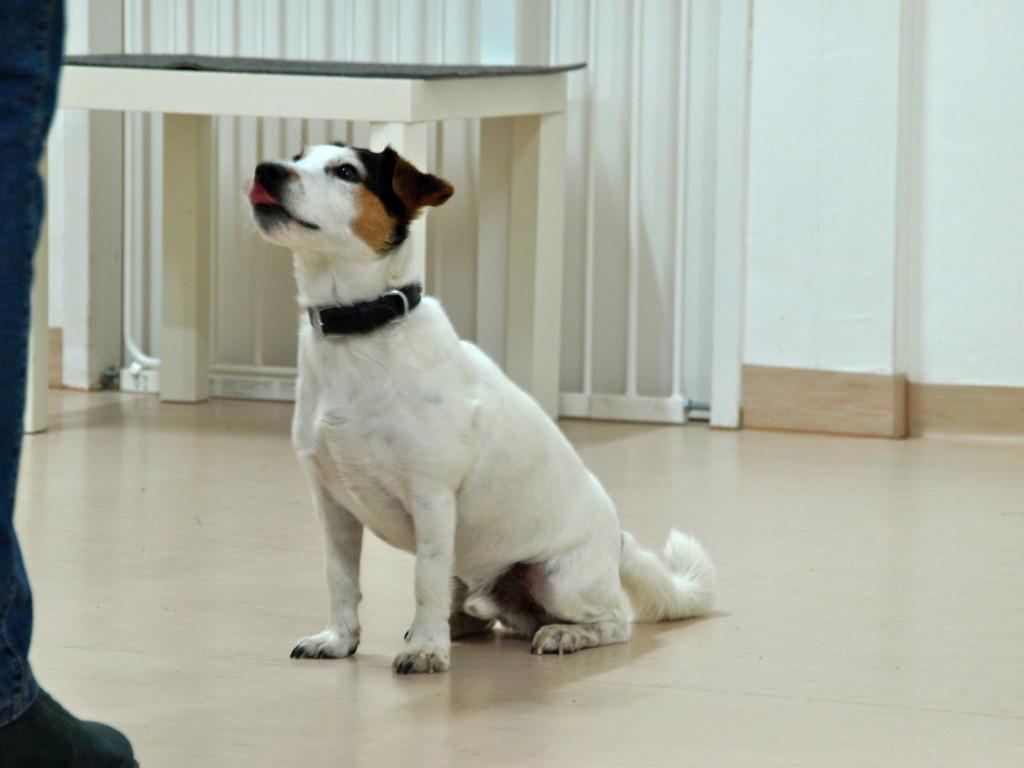 Der Jack Russel Terrier gehört zu den Kleinhunderassen. Power und Energie zeichnen Ihn aus und machen ihn zu einem tollen Begleithund für die Familie! Erzogen ist er ein toller Begleiter, der durch Dick und Dünn geht!