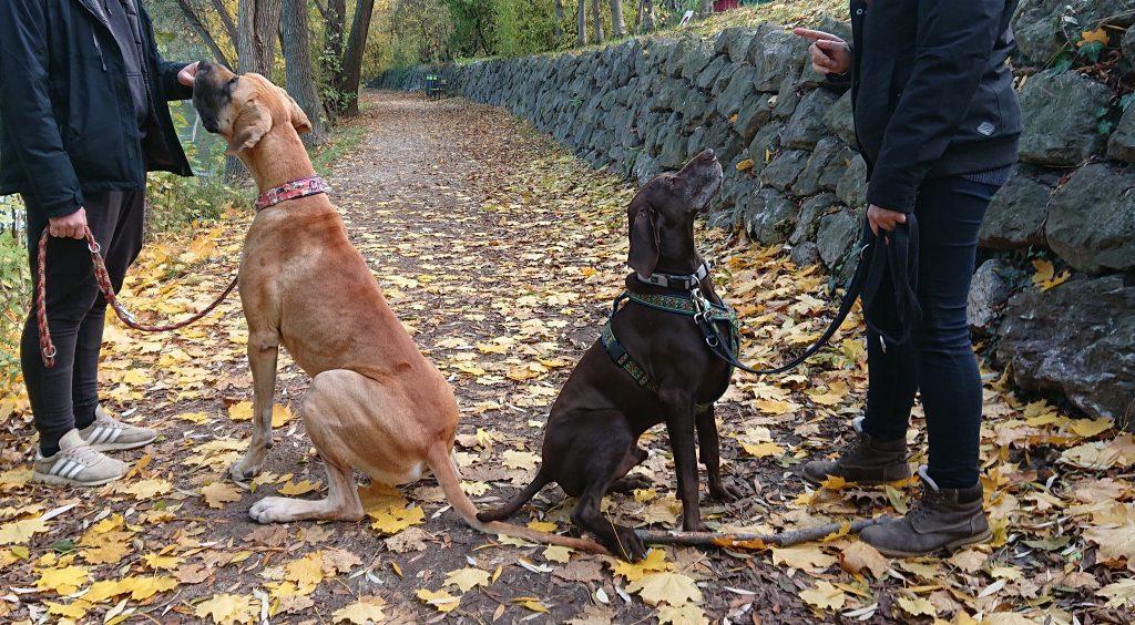 Entspannt trotz engem Kontakt zu Artgenossen: der Social Walk, mit der Deutschen Dogge und dem Deutsch Kurzhaar